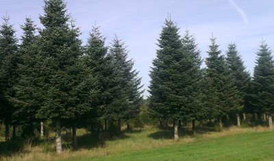 Christmas trees XL